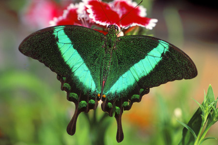 Emerald Swallow Tail butterfly