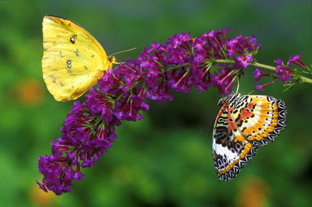 Sulphur and Lacewing Butterflies